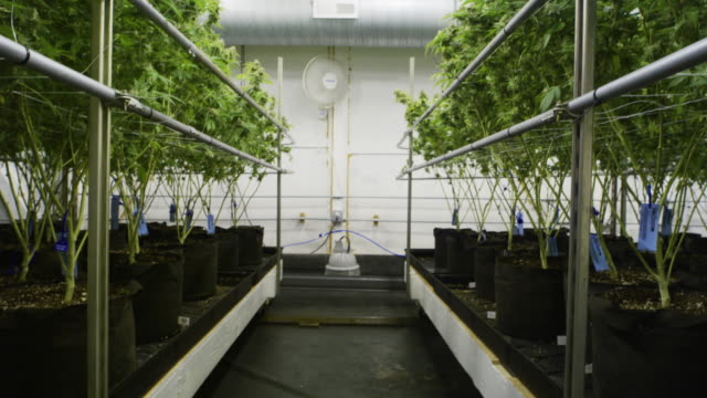 Low angle view of Cannabis growth facility Low to angle view of root system of Cannabis plants in an indoor growth facility marijuana herbal cannabis stock videos & royalty-free footage