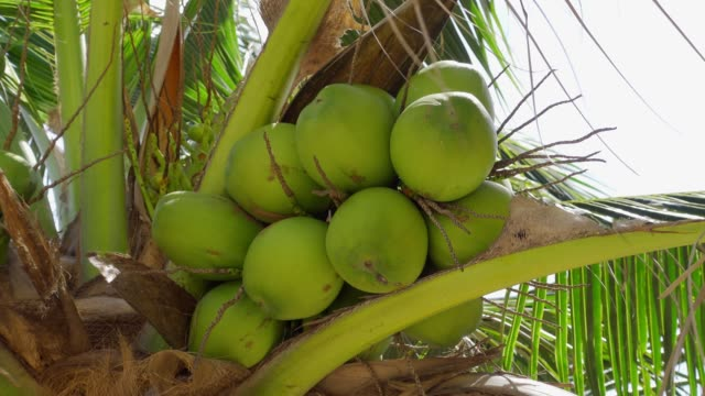 Low angle view of coconut in the garden Low angle view of coconut in the garden coconut palm tree stock videos & royalty-free footage