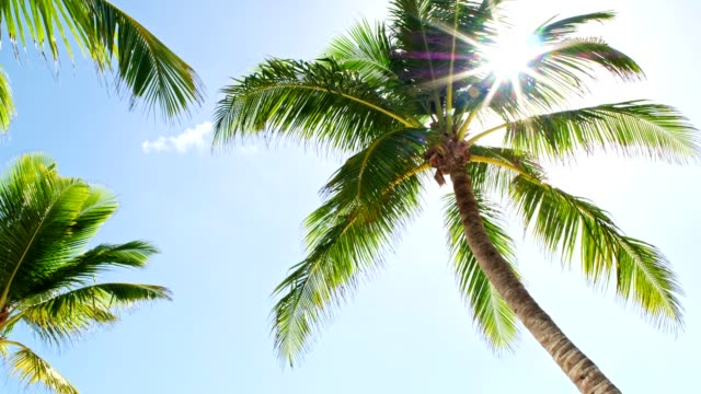 low angle view of coconut palm trees on caribbean beach - albero tropicale video stock e b–roll