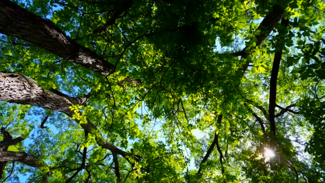 Low Angle View of Forest and Blue Sky With Wind Blowing.  Upward Viewpoint of Woodland Trees and Green Leaves Flowing in the Wind.