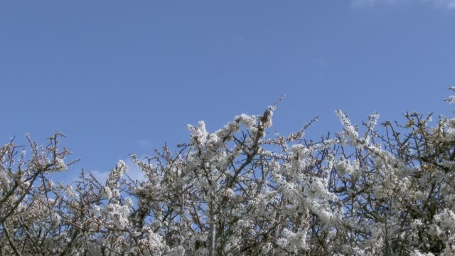 Low angle view of Hawthorn flowers in full bloom on a hedge in Dumfries and Galloway