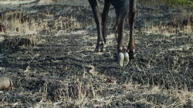 low angle view of hoofed animal carefully stepping in woodland slow motion. faceless horse cow walking grazing outdoors in forest on dry grass background. wild fauna reservation protection nursery - chudy filmów i materiałów b-roll