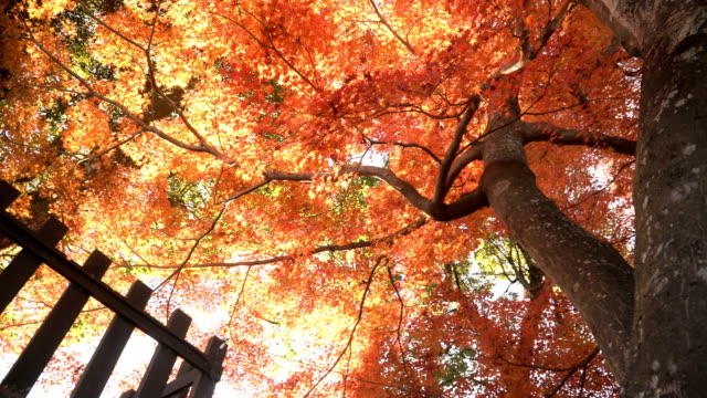 low angle view of red maple trunk tree and green tree in Inuyama city low angle view of red maple trunk tree in Inuyama city that is a city in Aichi Prefecture, Japan, north of the Nagoya Metropolis. maple leaf videos stock videos & royalty-free footage