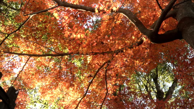 low angle view of red maple trunk tree in inuyama city - maple leaf stock videos & royalty-free footage