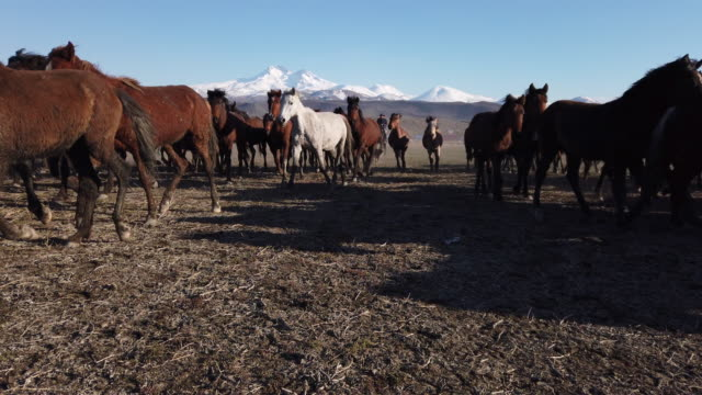 Low Angle View Running Wild Horses of Anatolia Captured in central Anatolia, Turkey mustang wild horse stock videos & royalty-free footage