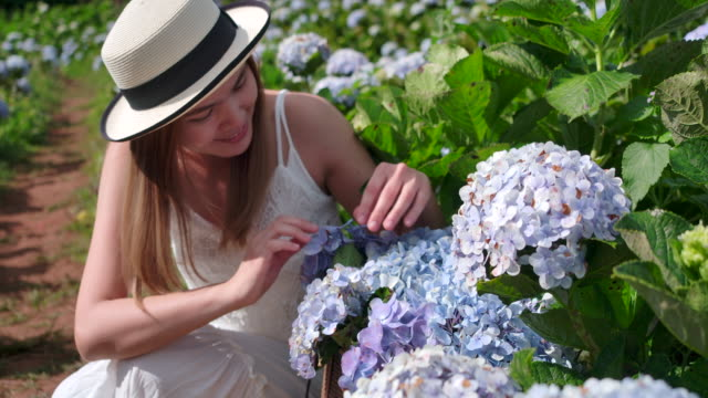Low angle view Thai beautiful woman She is sitting and touch the hydrangea flower, the tourist She traveled to the hydrangea field. Fresh air And she is happy
