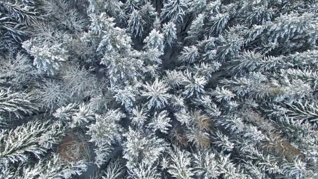 4K. Low flight above snowy winter forest on the north, aerial view. video