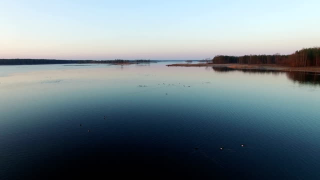 4K. Low flight over wild lake with ducks in early spring on sunset, aerial view video