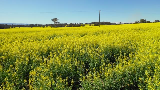 low fly over flowering canola field before harvest - canola video stock e b–roll