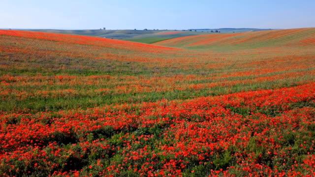 低空飛行に咲く赤いケシの花南モラヴィア州の丘のフィールド春チェコ共和国。 - 花壇点の映像素材/bロール