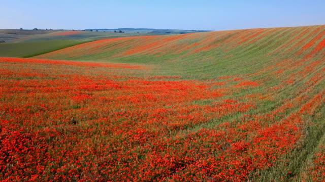 vídeos y material grabado en eventos de stock de vuelo de bajo nivel sobre los campos de flores de amapola roja en floración en las colinas de moravia del sur, república checa en primavera. - amapola planta