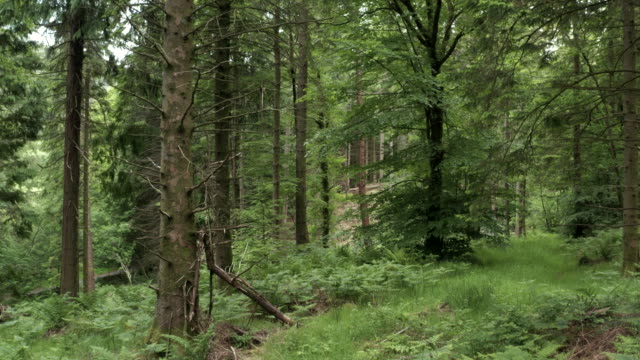 Low level view from a drone as it flies towards trees in an area of Scottish woodland