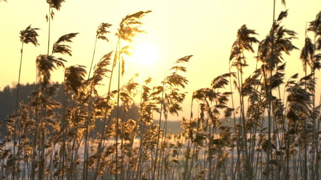 低北部太陽と葦畔。 - 湿地草点の映像素材/bロール