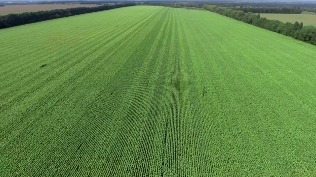 Low over field. Fly over green grass. Aerial view - vídeo