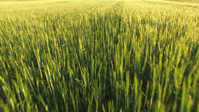 Low over green wheat fields video