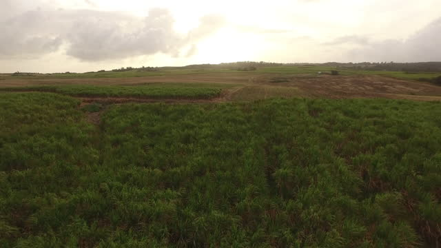 Low tracking drone shot over sugar cane field at sunrise. video