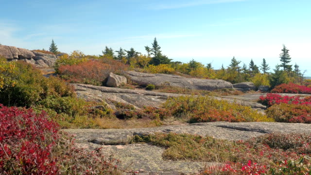 CLOSE UP: Low vegetation growing among the rocks in Acadia National Park, USA video