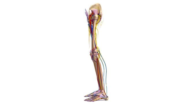 nedre extremiteterna med ligament, artärer, vener och nerver - lem kroppsdel bildbanksvideor och videomaterial från bakom kulisserna