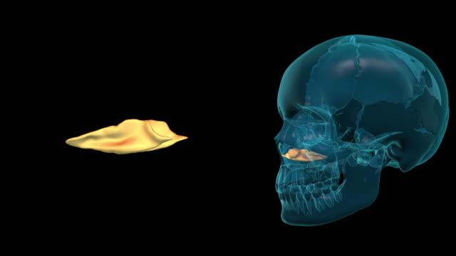 Inferior Nasal Concha video