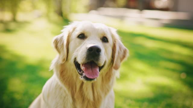 vídeos de stock, filmes e b-roll de fiel cão golden retriever sentado em um gramado verde do quintal, olha para a câmera. espécime pedigree da raça de cachorro de alta qualidade mostra que é esperteza, fofura e beleza nobre. tiro de retrato colorido - cão