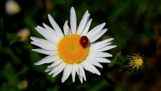 Lucky beetle and chamomile blossom the auspicious insect continues its natural life with parasites on different flowers. parasitic stock videos & royalty-free footage