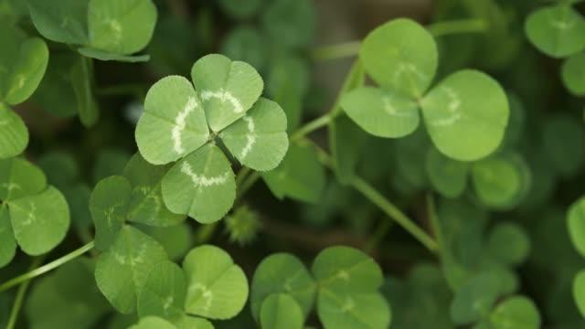 vídeos de stock, filmes e b-roll de trevo de quatro folhas em um campo de trevos. shamrock molda o amuleto da sorte ou o dia de são patrício. - boa sorte