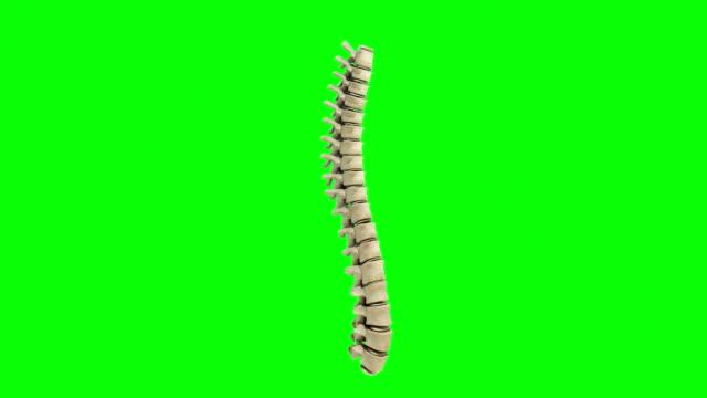 vídeos y material grabado en eventos de stock de animación rotación de columna lumbar - columna vertebral humana
