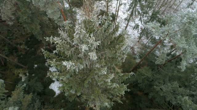 AERIAL Lumber cutters cutting down frosty trees in coniferous woodland in winter video