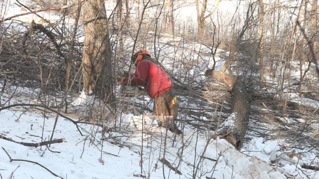 Holzfäller Schneiden einen großen Hartholzbaum im Wald – Video