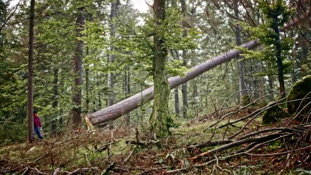 Lumberjack felling a tree in forest