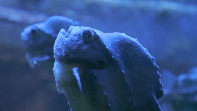 Lumpsucker floating in water video