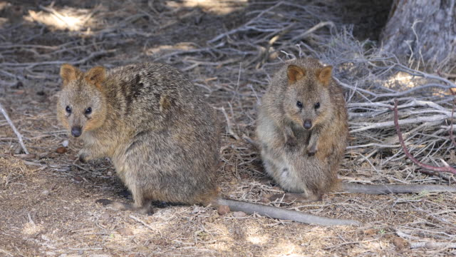 lunch with the quokkas on rottnest island, wa. - western australia stock videos & royalty-free footage