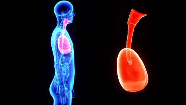 肺 - 動物の身体各部点の映像素材/bロール