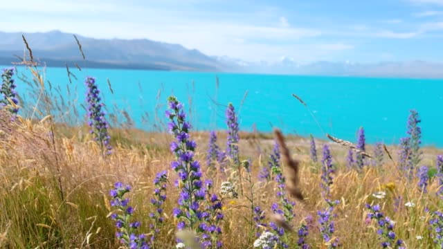 Lunpin Flower with lake and snow mountain background. New Zealand.