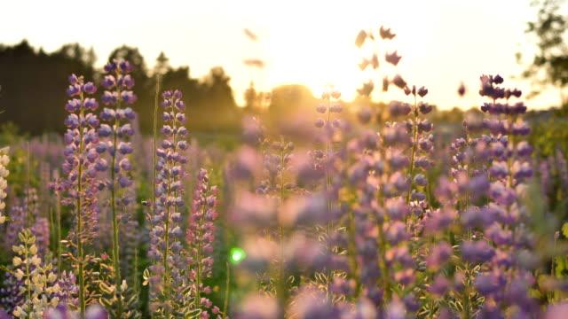 lupinenfeld gegen einen goldenen sonnenuntergang. hummel sammelt pollen, zeitlupe - lupine stock-videos und b-roll-filmmaterial