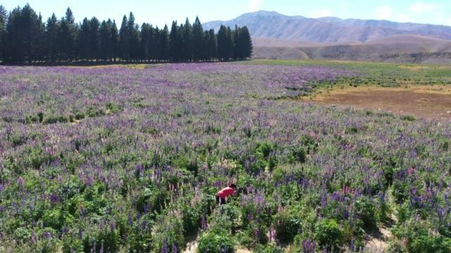 Lupin field in Tekapo of South Island, New Zealand L1/7