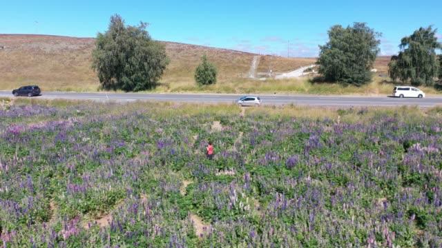 Lupin field in Tekapo of South Island, New Zealand L3/7