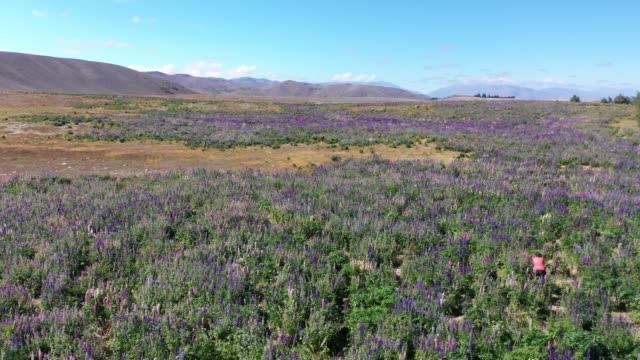 Lupin field in Tekapo of South Island, New Zealand L4/7