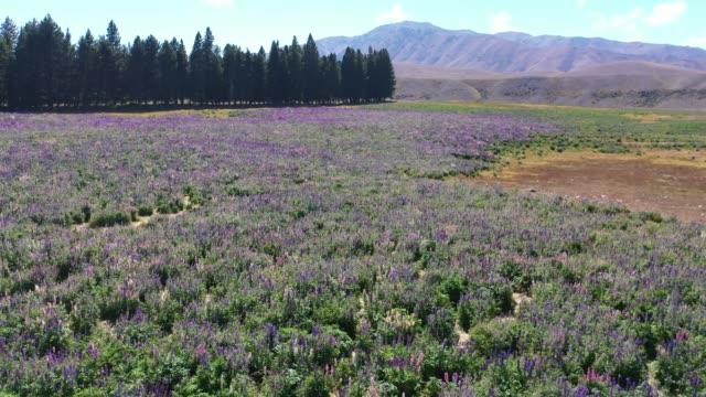 Lupin field in Tekapo of South Island, New Zealand L5/7