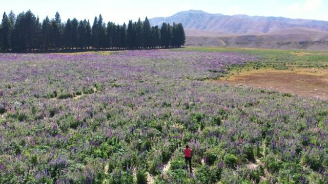Lupin field in Tekapo of South Island, New Zealand L6/7
