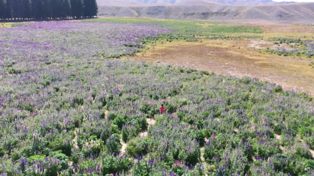 Lupin field in Tekapo of South Island, New Zealand L7/7