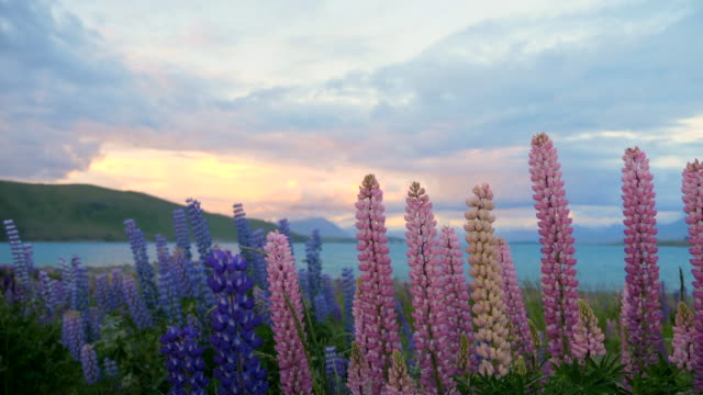 Lupin flower at dusk sky