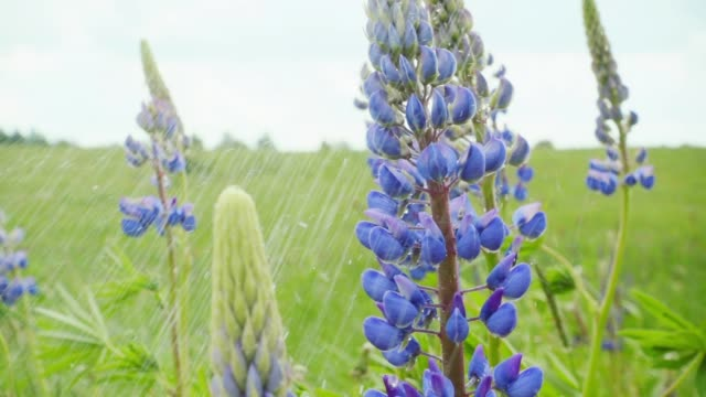 Lupine flowers under the summer rain, slow motion video