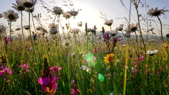 lupines, chamomiles och andra vilda blommor på en alpin äng under soluppgången. solen lyfter över bergen och får igenom växterna med sina balkar. steadicam, uhd - vild blomma bildbanksvideor och videomaterial från bakom kulisserna