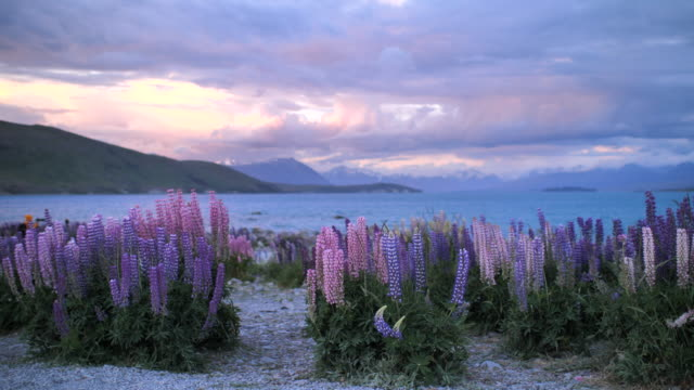 Lupins flower purple flower with landscape at dusk video