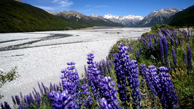 Lupins flower purple flower with landscape snow mountain new zealand video