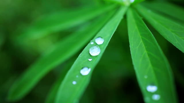 lupinus leaf with drops of water video