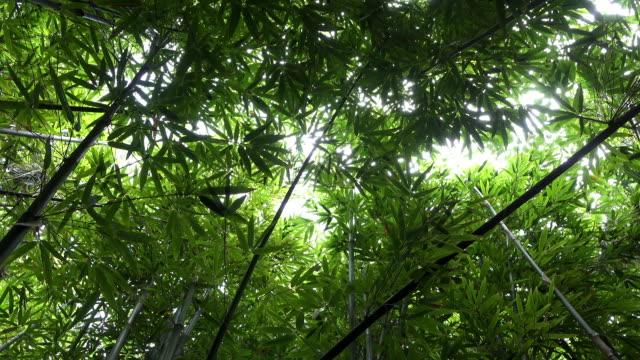 クローズアップ:竹林、緑豊かな熱帯の島 - 笹点の映像素材/bロール