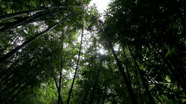 スローモーション : 緑豊かな竹林 - 笹点の映像素材/bロール