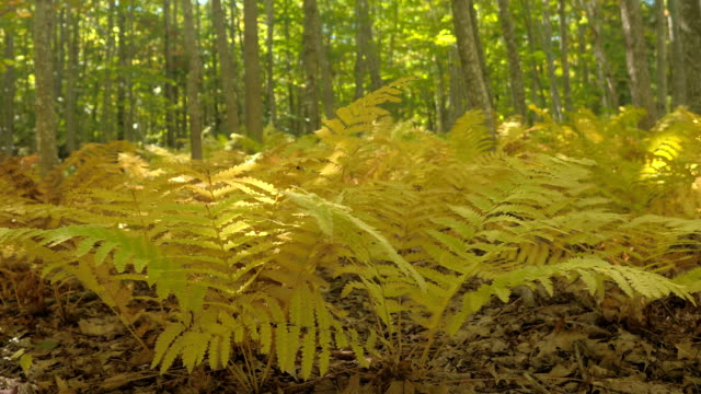 DOF: Lush fern plants in deciduous forest turning yellow on sunny autumn day video